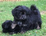 Black  Fantastic Maltipoo Puppies For Good Homes