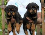 We have Rottweiler puppies for sale