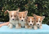 Welsh Corgi Pembroke Puppies For Sale