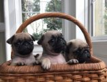 Stunning Kc Reg Pug Puppies For Sale