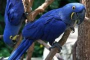 Pair of Hyacinth Macaw Parrots