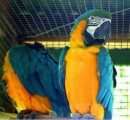 Lovely talking pairs of parrots for sale