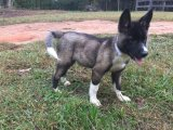 akita for sale both male and female