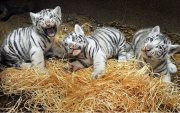 white Tiger Cubs available for good homes.