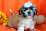 Quality home raise Shih Tzu puppies for sale