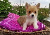 Awesome Pembroke welsh corgi puppies for sale