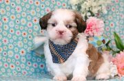 Sweet home raise Shih Tzu puppies for sale
