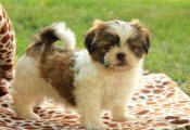 Clean super cute Shih Tzu puppies for sale