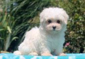 Super adorable Maltese puppies for sale
