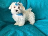 Baby Maltese Puppies for Sale