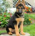 Awesome registered Herman shepherd puppies for sale