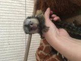 Charming Marmoset Monkey Available For Adoption