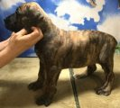 Merle Boerboel Puppies Available for good homes