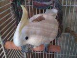 Beautiful Sulfur Crested Cockatoo