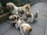 Gorgeous shih Tzu Puppies for sale!