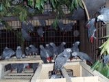 African gray parrots are seeking new home