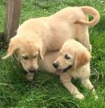 f1 generation golden retriever Puppies For Sale.