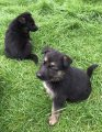 Akc German Shepard Puppies For Sale