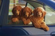 Home Trained Standard Poodle Puppies for sale