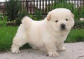 Male and Female Chow chow Puppies Available for sale