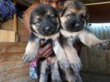 Wonderful male and female German shepherd puppies for sale