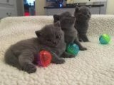 Beautiful male and female British short hair kittens For Sale