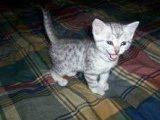 Train Male And Female Egyptian Mau Kittens For Sale