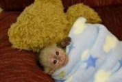 Cute nice Capuchin Monkeys for sale
