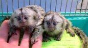 Splendid Male and female Marmoset Monkeys for sale