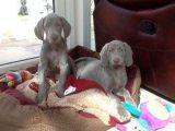 Healthy Weimaraner Puppies For sale