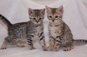 F1 Savannah kittens