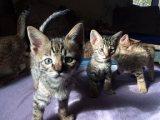 TICA Savannah kittens Available