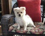 Socialized Pomeranian Puppies