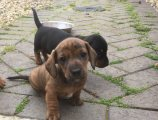 Cute Dachshund puppies available for sale