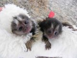 Affectionate Marmoset monkeys Ready