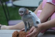 Adorable Capuchin Marmoset and Squirrel Monkey for