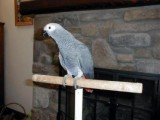 Talkative African Grey Parrots for Adoption