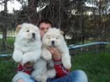 كلاب شاوشاو للبيع