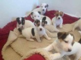 Ready Now Jack Russel Puppies, Male & Female,