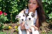 كلاب جاك راسل