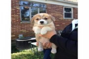 Exceptional Pembroke Welsh Corgi puppies now ready for good home