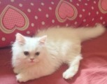 Snow-White Persian Kittens For Xmass  Present!