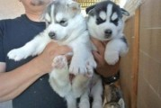 Now Siberian Husky Puppies for Xmas