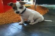 Wonderful Jack Russel Puppies 11 weeks old for Xmas