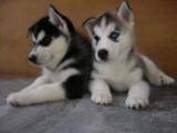 Playful Siberian Husky Puppies