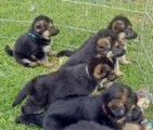 German Shepherd Puppies for exmass