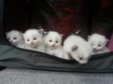 Hand-Raised Ragdoll Kittens
