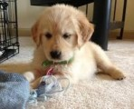 Well Trained Golden Retriever Puppies