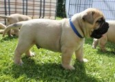 Chunky Bullmastif Puppies For Sale