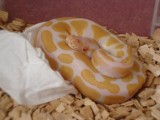 My albino and piebald are ready to go to good home